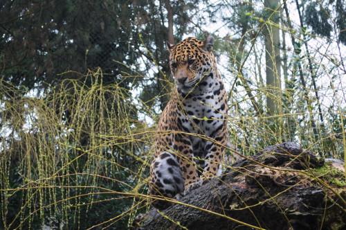 103 Jaguar