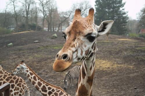 149 Giraffes